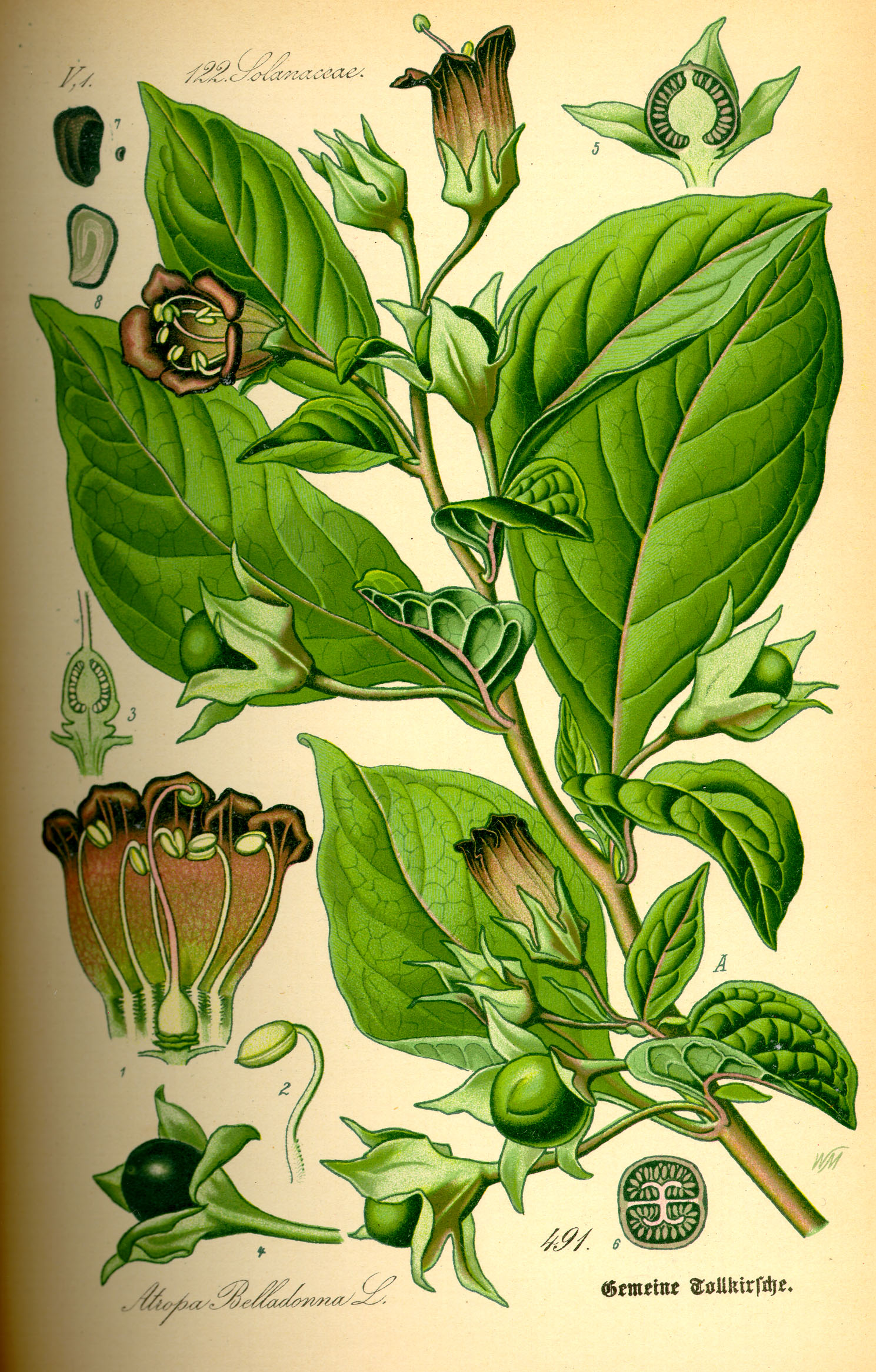 Atropa belladonna (Solanaceae). Erboristeria Dulcamara. www.gfmer.ch
